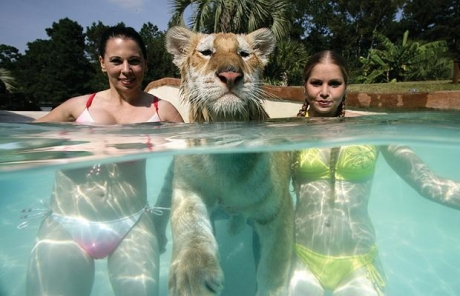 http://24yes.com/gag/Lucky lion with two girls in the pool
